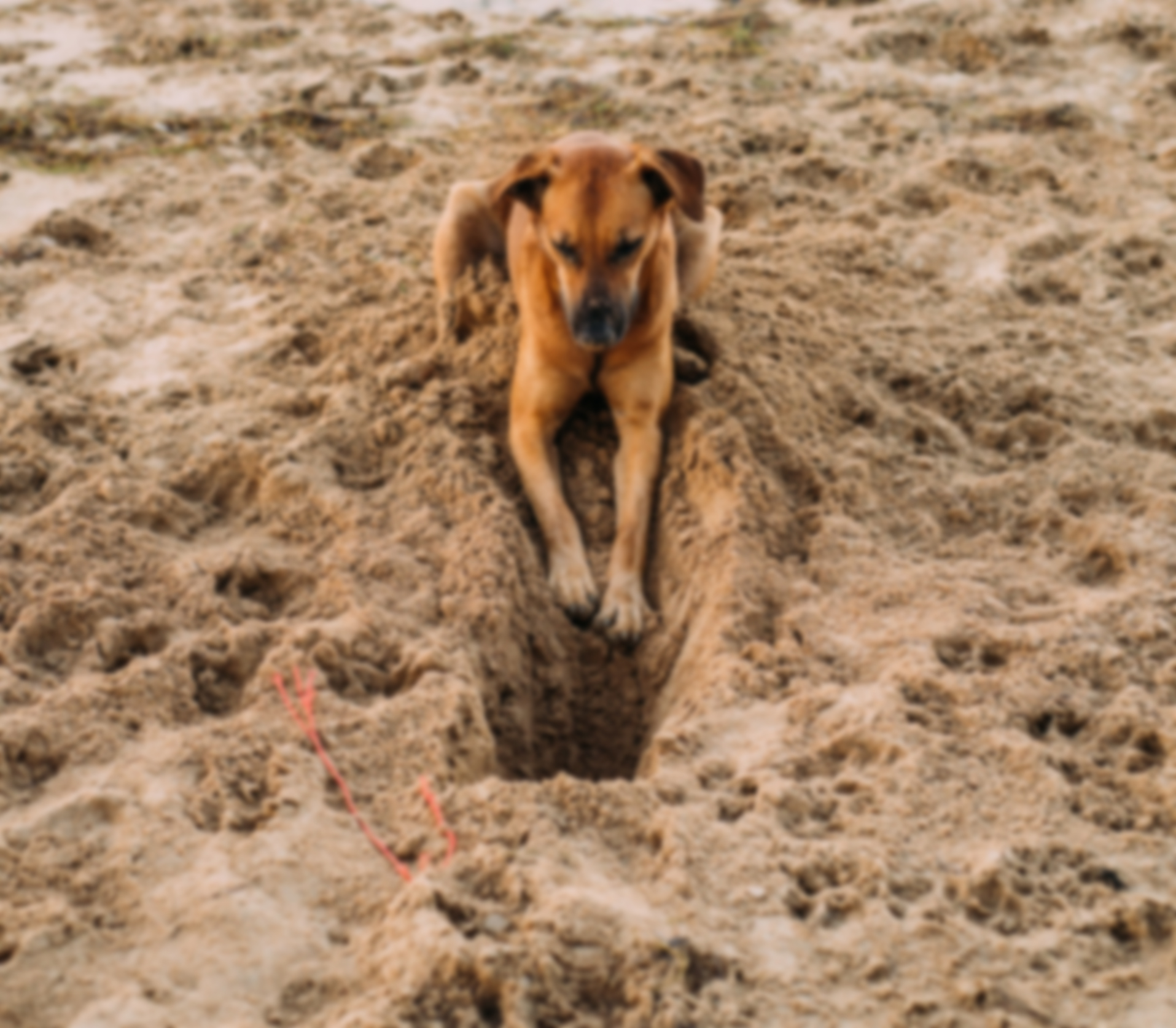 dog-digging-in-sand-blurred